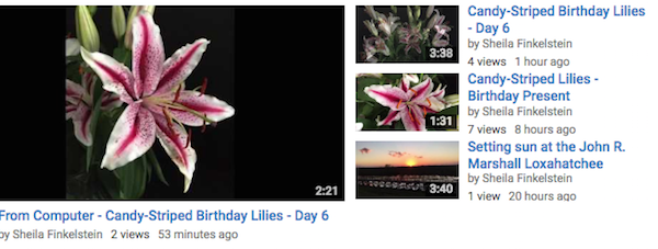 Candy Cane Lilies in Screenshot videos Playlist